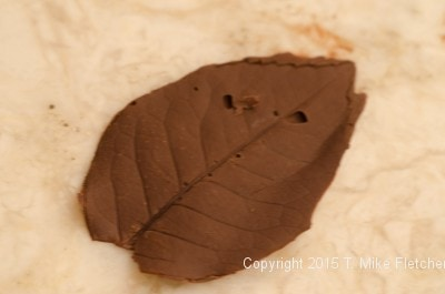 Finished chocolate leaf for the Buche de Noel